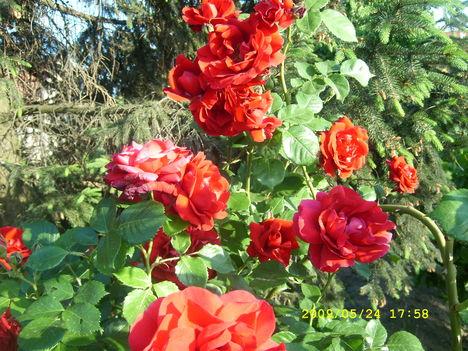 Ha én rózsa volnék...