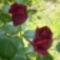 Rózsa - gyönyörúséges