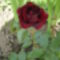 Rózsa - nem gyönyörű?