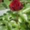 Rózsa - van ennél szebb?