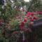 Rózsák a teraszon
