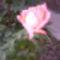 rózsaszin szépség