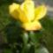 sárga gyönyörűség