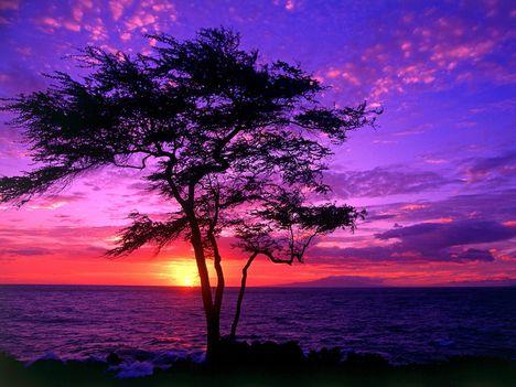 Kiawe_Tree,_Wailea,_Maui,_Hawaii