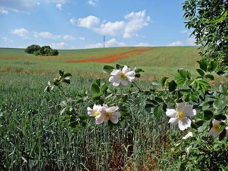 Lehullott a vadrózsa virága: Dáma Lovag Erdős Anna verse: