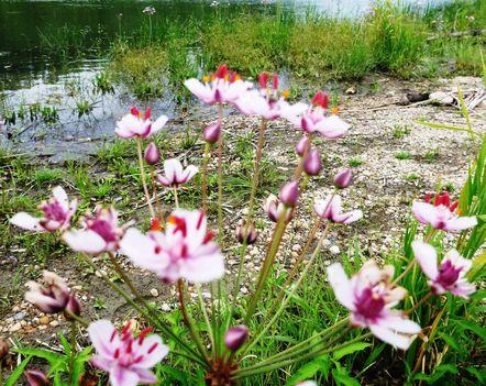 Virágkáka (Butomus umbellatus), Szigetköz 2017. július 26.-án