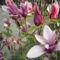 Babarózsa,tulipán 001