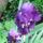 Irisz-002_243302_97578_t