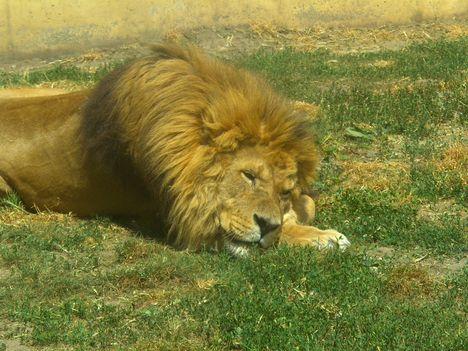 Az állatok királya...