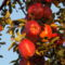 Szedhető a korai téli alma...