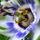 Golgotavirág  most nyillik, de a virágja csak 2 napig tart, folyamatosan nyillik