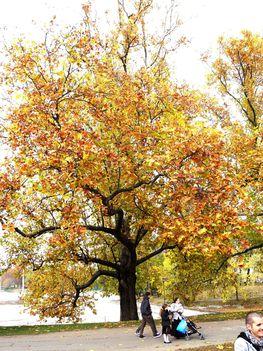 Platánfa őszi ruhában