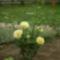 sárga rózsabokor