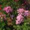 Lángvirág  rózsaszín