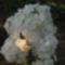 Lángvirág fehér