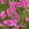 Rododendro 10