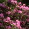 Rododendro 11