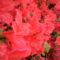 Rododendro 14