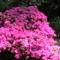 Rododendro 15