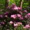 Rododendro 16