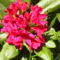 Rododendro 17