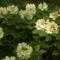 Rododendro 4