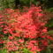 Rododendro 5