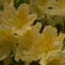 Rododendro 6