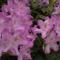 Rododendro 7