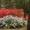 Rododendro 8