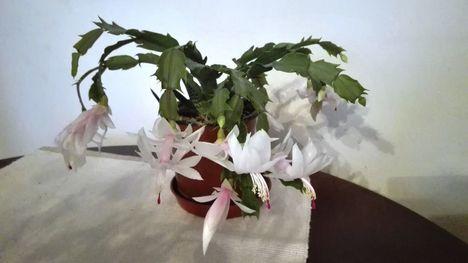 Karácsonyi kaktusz 2017. november 02.-án