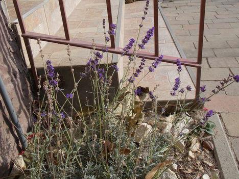 Novemberben is virágzik a levendula.