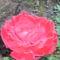 Piros rózsám
