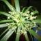 Vízipálma virága