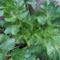 Kiskertünk téli zöld vitaminforrása a zeller is.