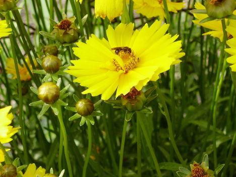Coreopsis- méhecskével