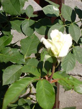 fehér futó rózsa