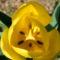 tulipan5