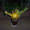 kaktusom