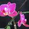 Phalaenopsis hibrid 1