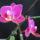 Phalaenopsis_hibrid_1-001_2062344_3119_t