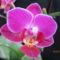Phalaenopsis hibrid 2