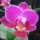 Phalaenopsis_hibrid_2-001_2062345_6177_t
