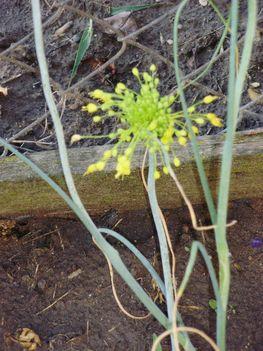 Allium flavum  2009.