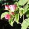 tüskétlen rózsa 2009