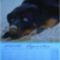 Rottweiler__aprilis_2066866_5524_s