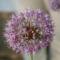 Diszhagyma virága