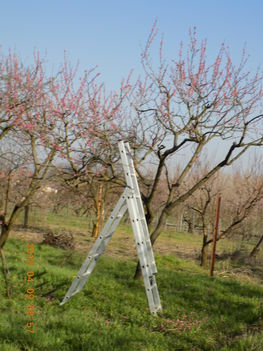 Kezdődik az őszibarackfák metszése.