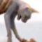 kopasz macska