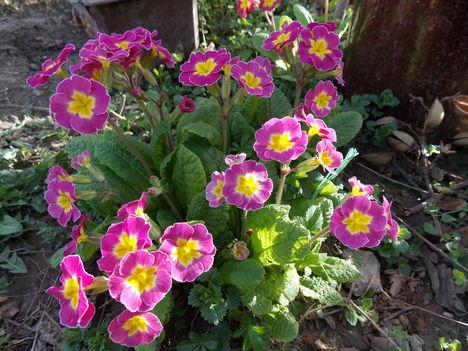 Primula a virágoskertben.